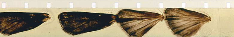 Mothlight (1963) • Fred Camper, Frame Enlargements from Films by Stan Brakhage • www.tinyurl.com/yelgnrg